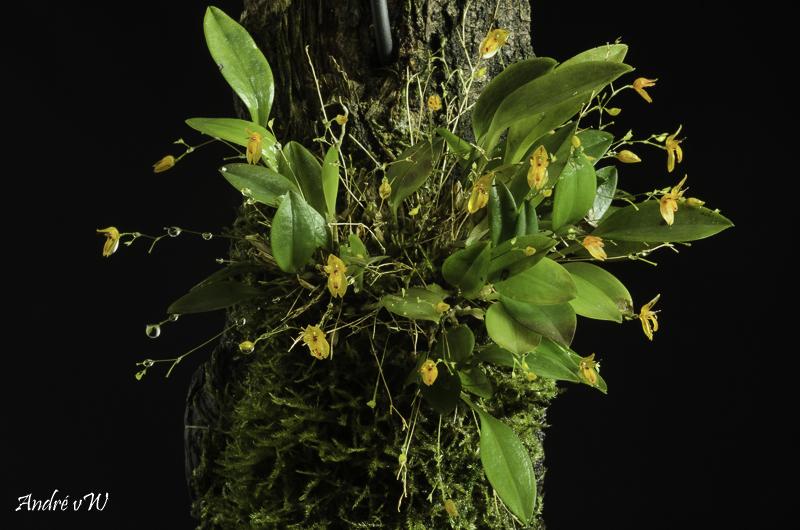 Pleurothallis rubella Pleuro47