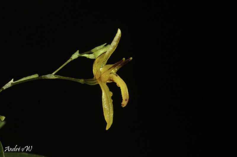 Pleurothallis rubella Pleuro50