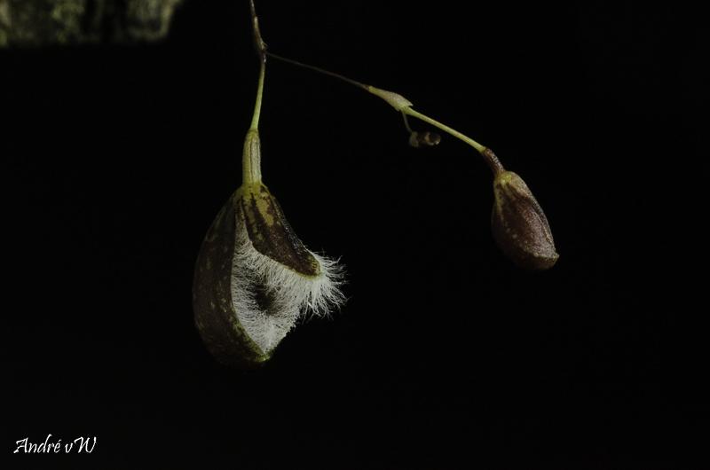 Pleurothallis cypripedioides Pleuro52
