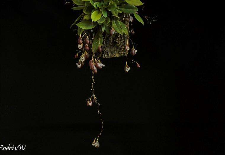 Pleurothallis cypripedioides Pleuro54