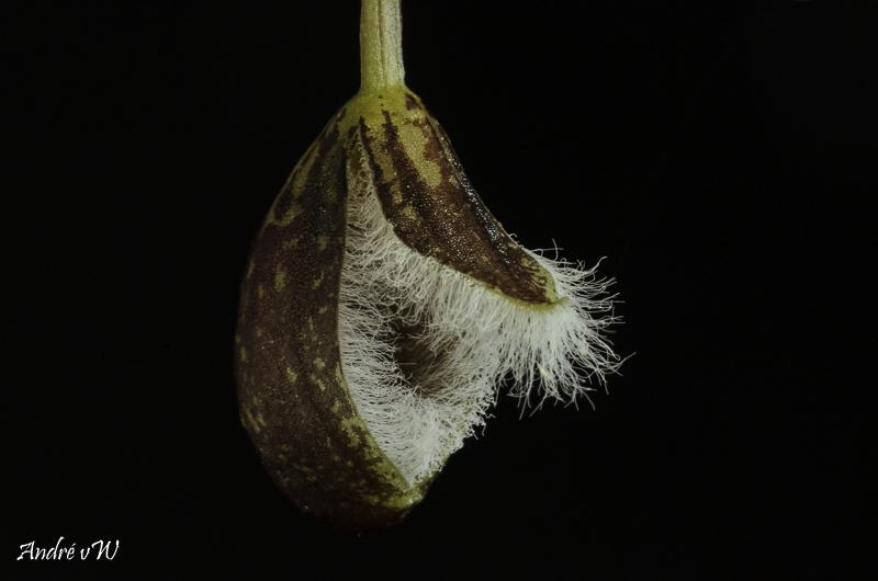 Pleurothallis cypripedioides Pleuro55