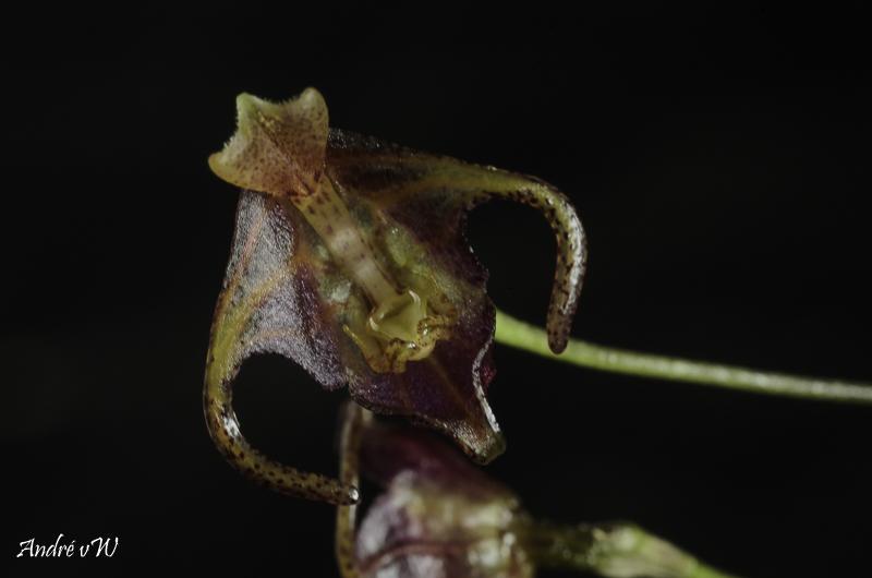 Porroglossum portillae Porrog27