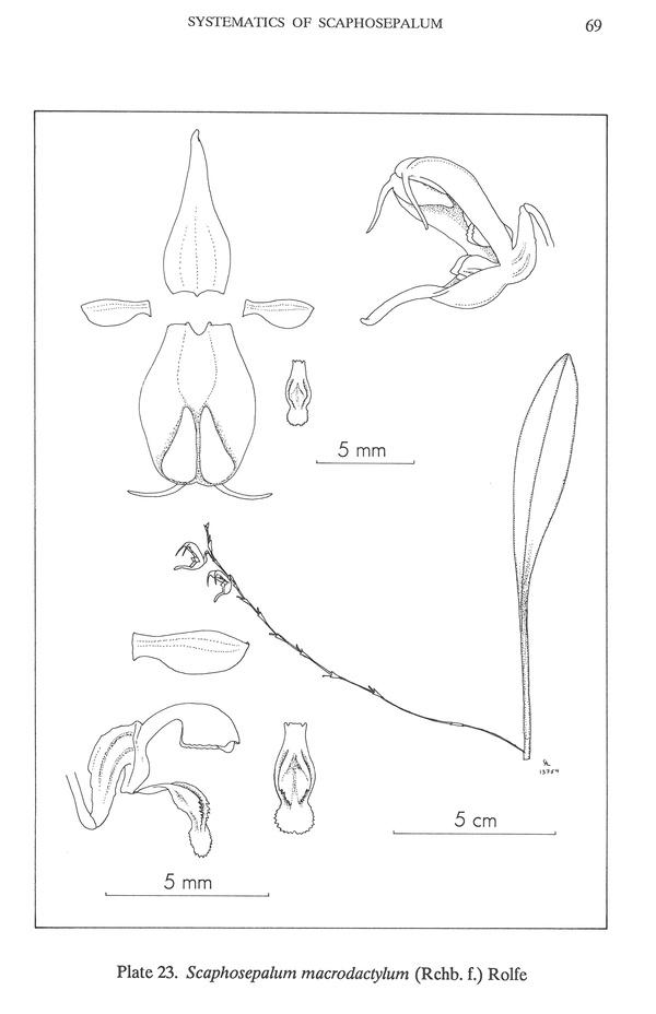 Scaphosepalum microdactylum Scapho17
