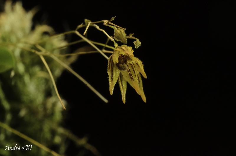 Specklinia (Muscarella) kennedyi Speckl23