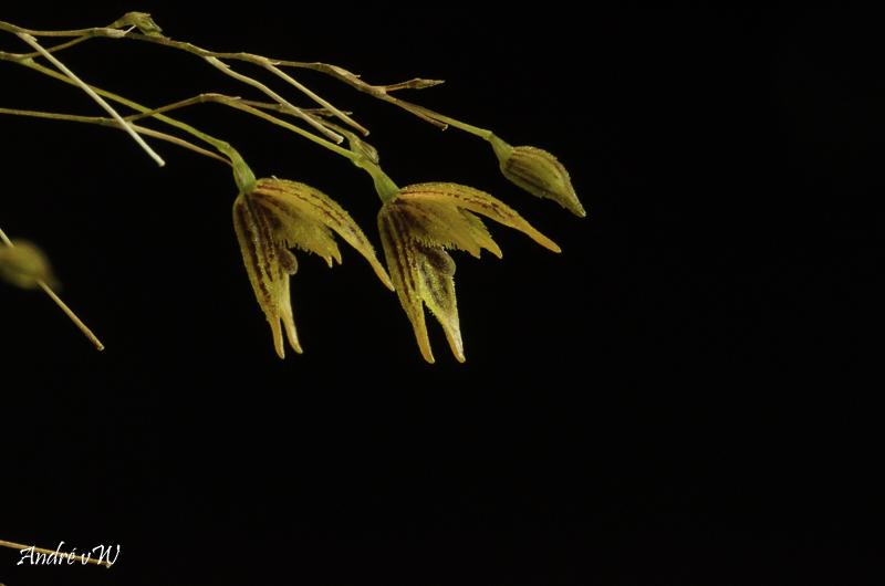 Specklinia (Muscarella) kennedyi Speckl24