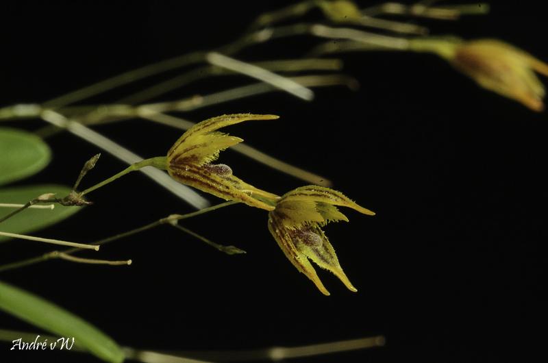 Specklinia (Muscarella) kennedyi Speckl25