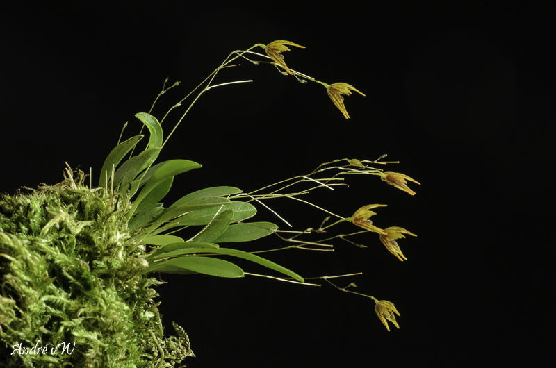 Specklinia (Muscarella) kennedyi Speckl26