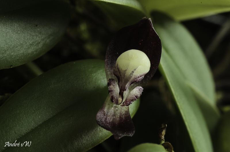 Miniatur-Orchideen Teil 5 - Seite 43 Stelis26