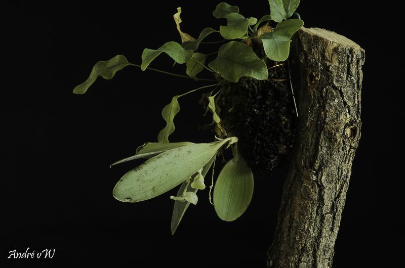 Miniatur-Orchideen Teil 6 Stelis31