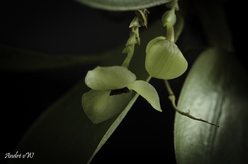 Miniatur-Orchideen Teil 6 Stelis32