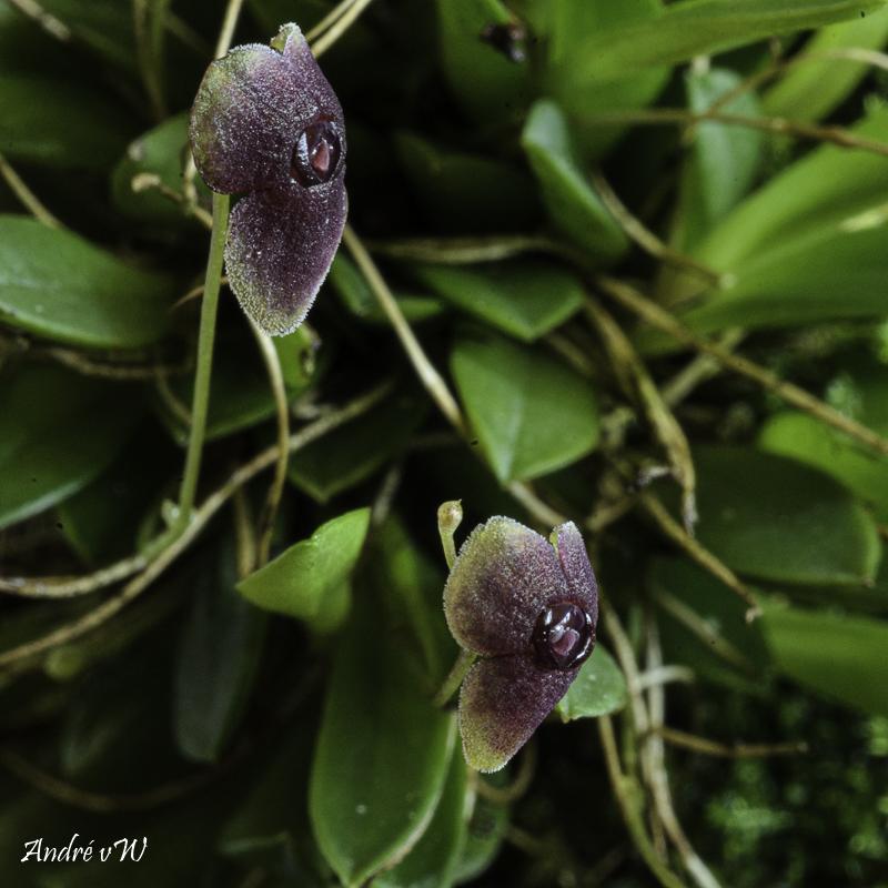 Stelis uniflora Stelis41