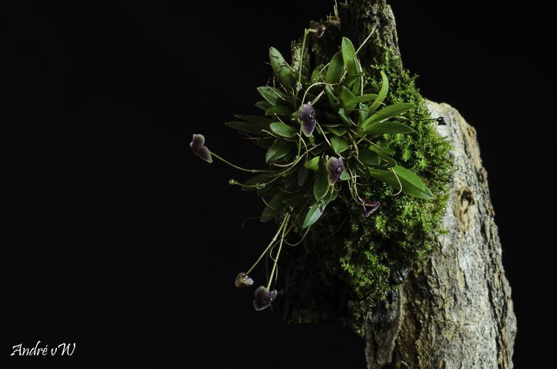 Stelis uniflora Stelis42