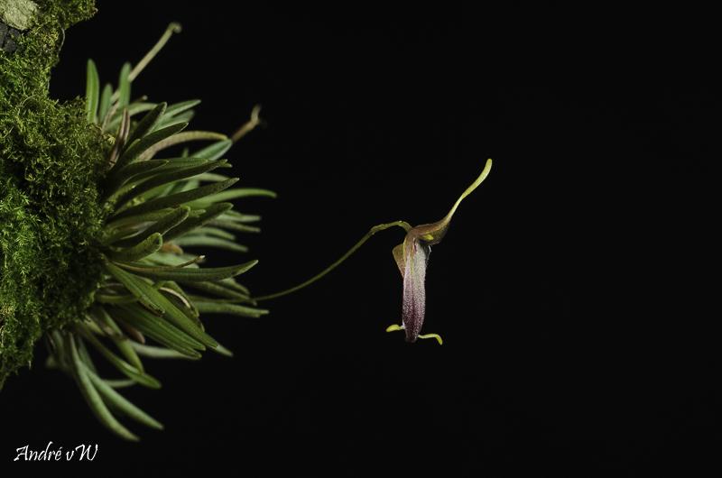 Miniatur-Orchideen Teil 6 - Seite 2 Triset13