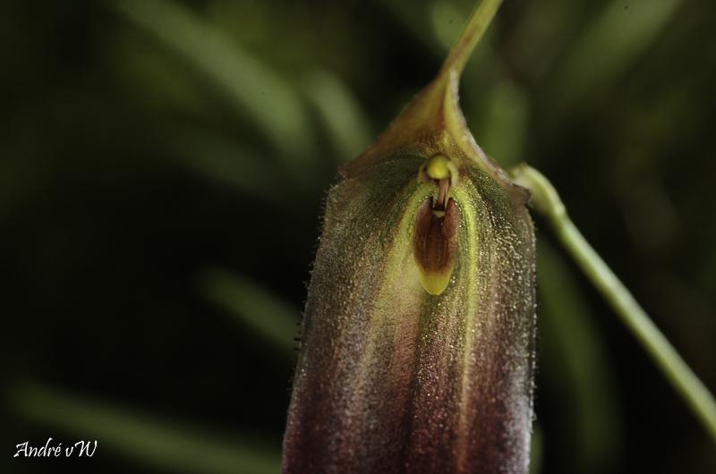 Miniatur-Orchideen Teil 6 - Seite 2 Triset14