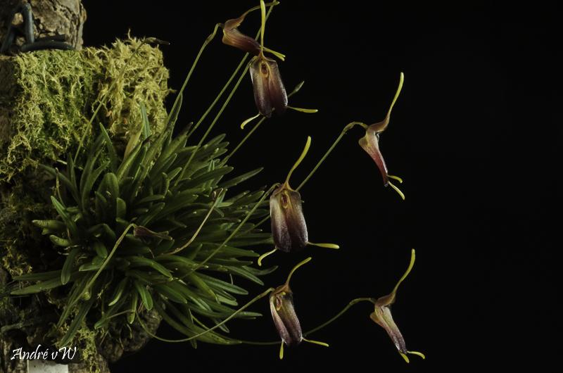 Trisetella cordeliae Triset19