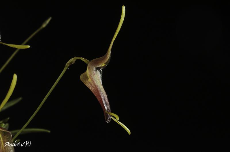 Trisetella cordeliae Triset20