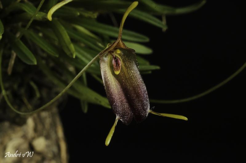 Trisetella cordeliae Triset21