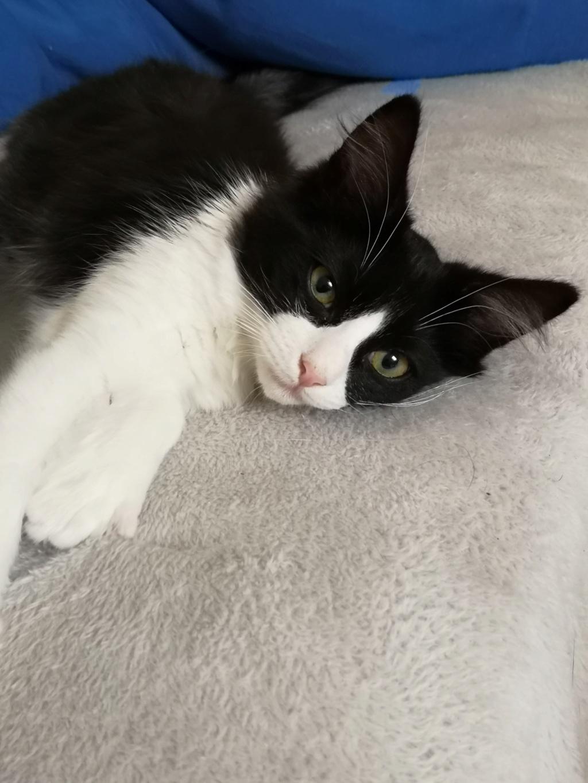 Maurice (ex Osiris), mâle type européen noir et blanc angora né le 05/09/2018 50649910