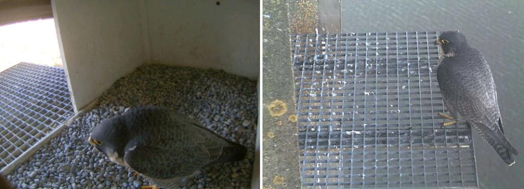 Aalsmeer/Watertoren. Youngster en Sidonia - Pagina 2 142aam14