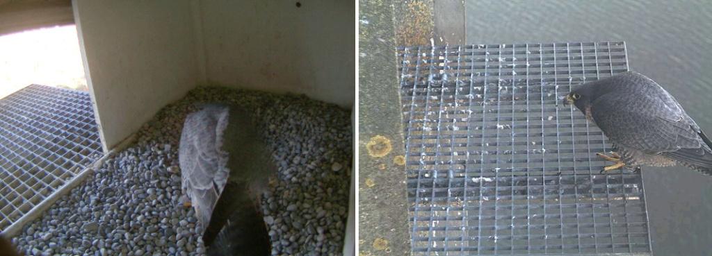 Aalsmeer/Watertoren. Youngster en Sidonia - Pagina 2 142aam15
