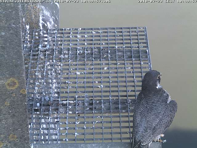 Aalsmeer/Watertoren. Youngster en Sidonia - Pagina 17 237aa110