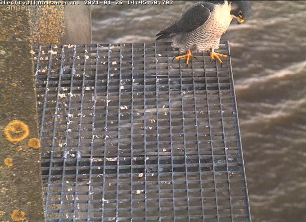 Aalsmeer/Watertoren. Youngster en Sidonia - Pagina 4 261aa110