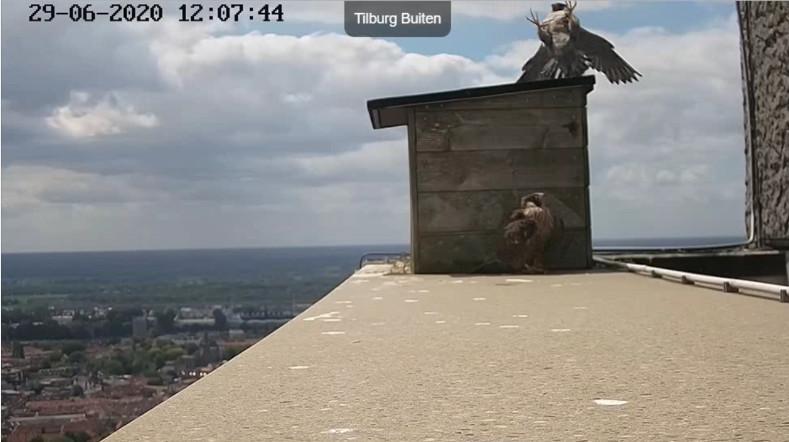 Tilburg Westpoint peregrines - Pagina 17 296tm10