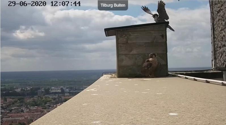 Tilburg Westpoint peregrines - Pagina 17 296tm110