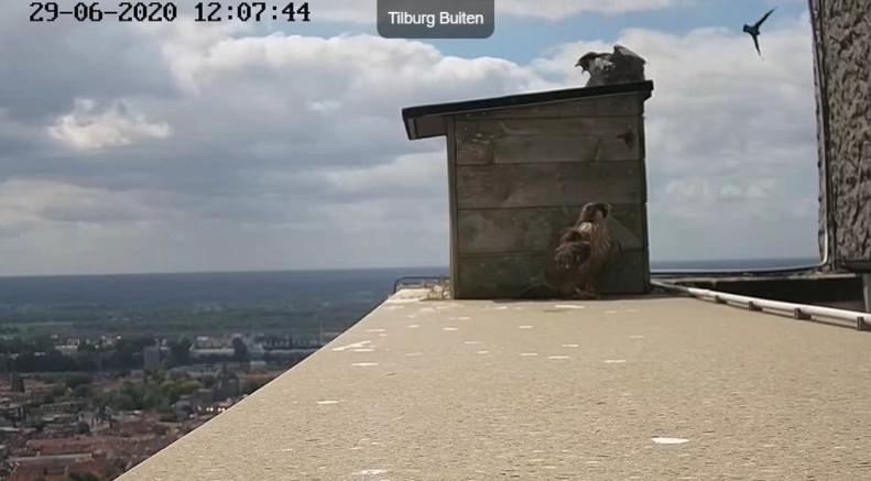 Tilburg Westpoint peregrines - Pagina 17 296tm210