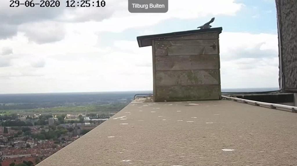Tilburg Westpoint peregrines - Pagina 17 296tm310