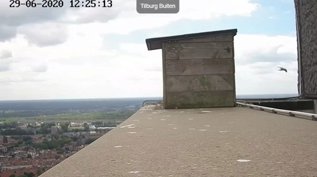 Tilburg Westpoint peregrines - Pagina 17 296tm410