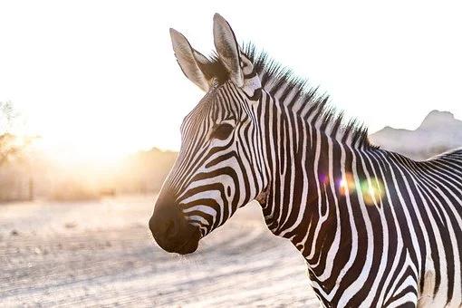 Rubys neues Ava Shöppchen (Bildbearbeitung) Zebra-10