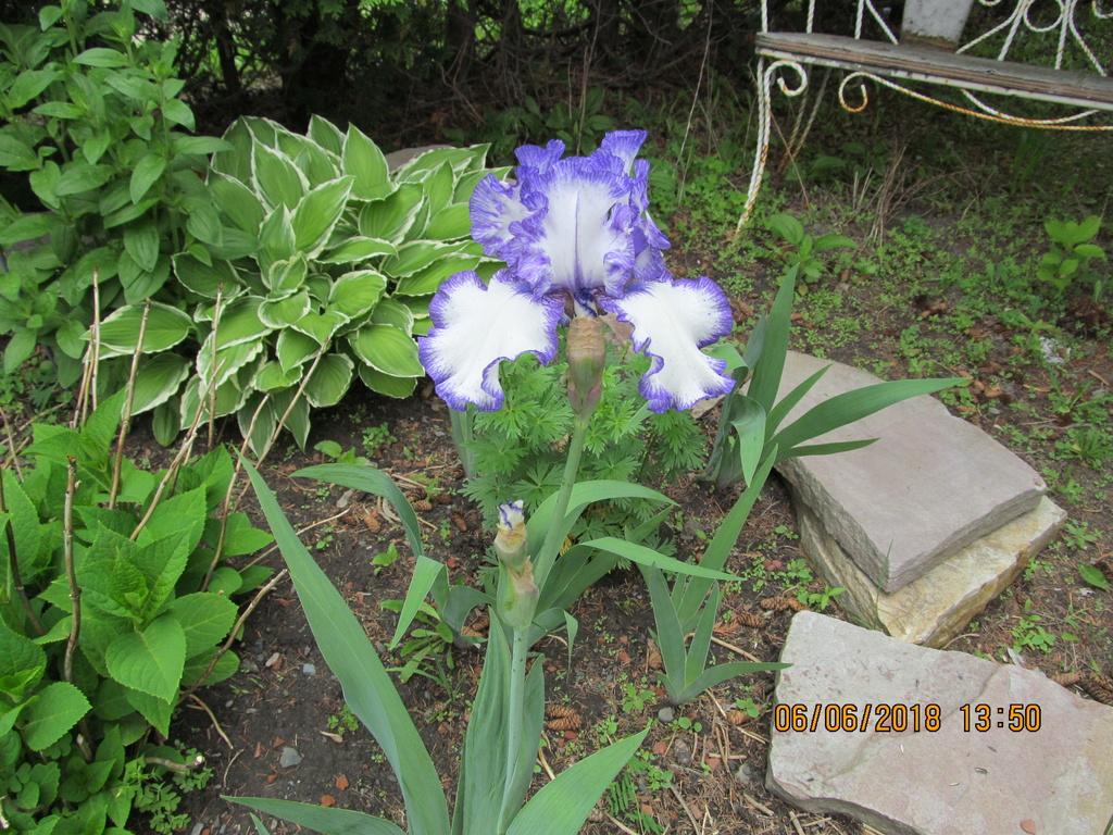 Ces iris qui se ressemblent Iris_r10