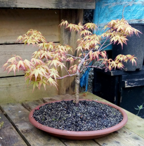 Skegbyguy A few of my trees Maple211