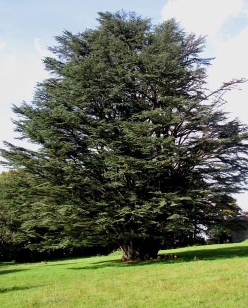 un cèdre dans le parc Cdlp10