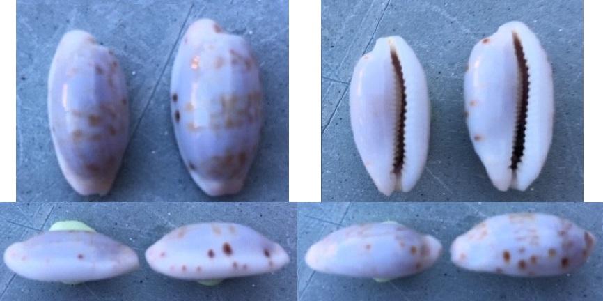 Talostolida violacincta - (Lorenz, 2002) 11310