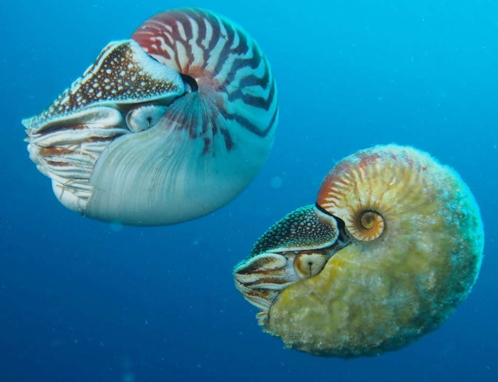 Nautilus scrobiculatus - Lightfoot, 1786 voir Allonautilus scrobiculatus (Lightfoot, 1786) 14316710