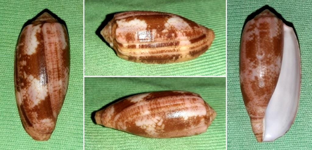 Conus (Gastridium) eldredi   Morrison, 1955 20191211