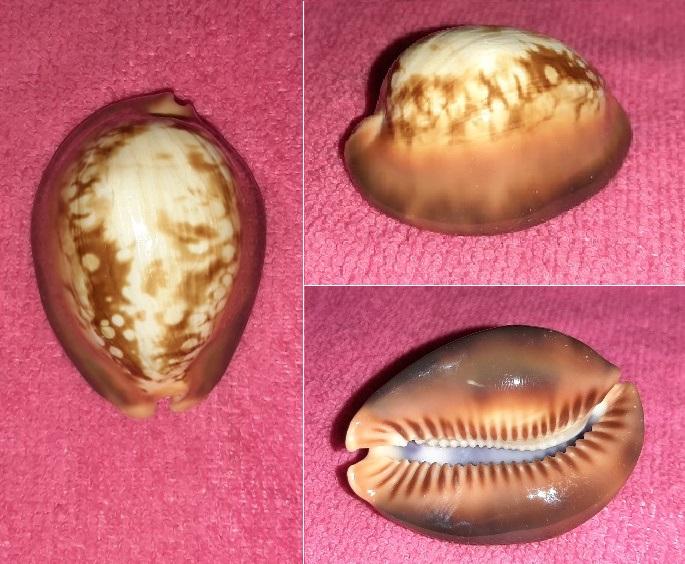 Mauritia mauritiana - (Linnaeus, 1758) plutôt sympa  20191219