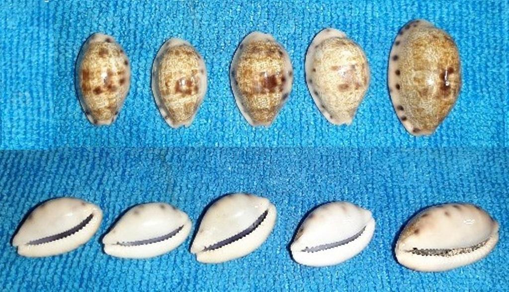 Talostolida pellucens pellucens polynesiana - (Raybaudi, 1992) 20191221
