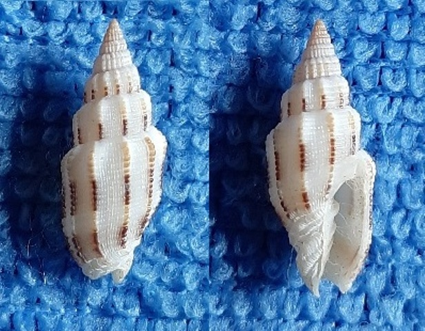 Vexillum exasperatum (Gmelin, 1791) -  morph exustum Dautzenberg & Bouge, 1923 20200314