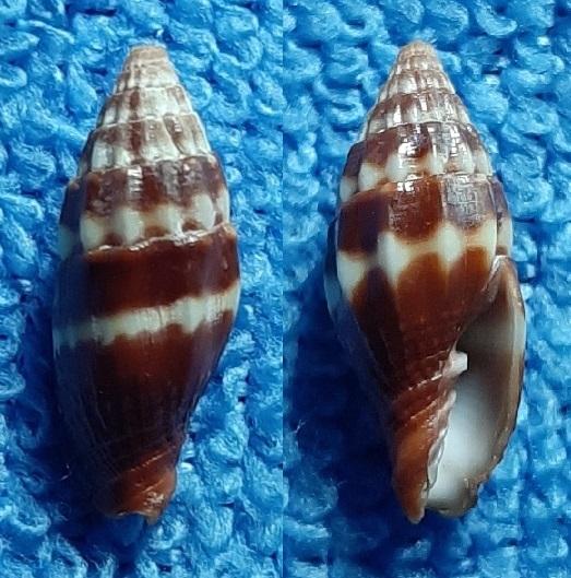 Vexillum geronimae - Poppe, Tagaro & Salisbury, 2009 20200323
