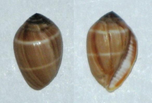Melampus coffea (Linnaeus, 1758) Actzoo10