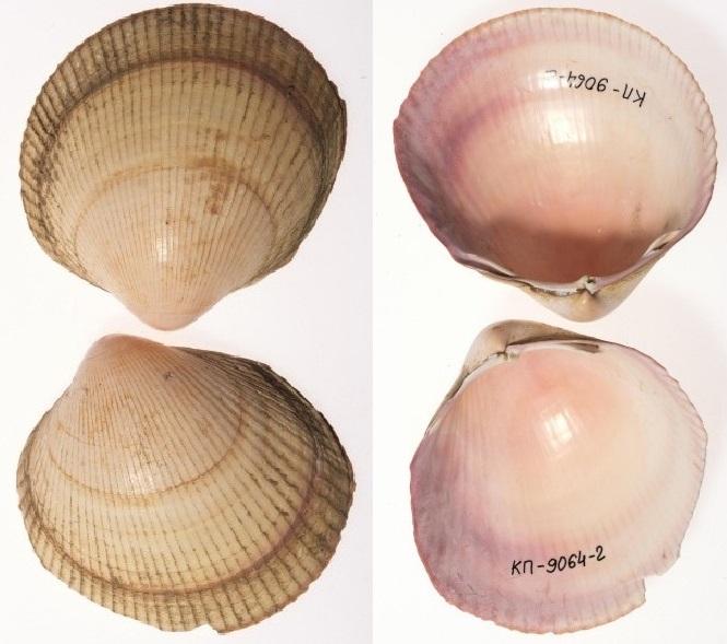Ciliatocardium ciliatum - (Fabricius, 1780) Biv1010