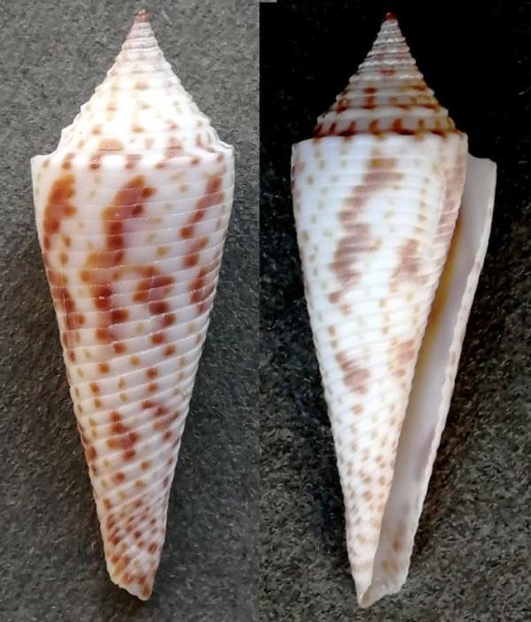 Conasprella (Fusiconus) hopwoodi (Tomlin, 1937) C21010
