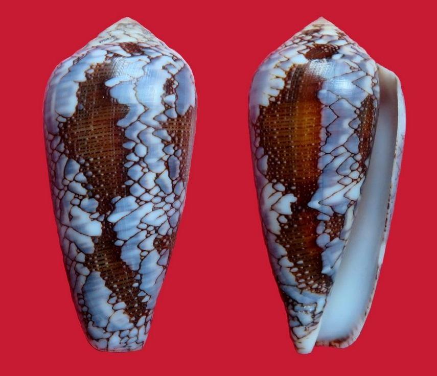 Conus (Darioconus) pennaceus Born, 1778  du Mozambique C_prae11