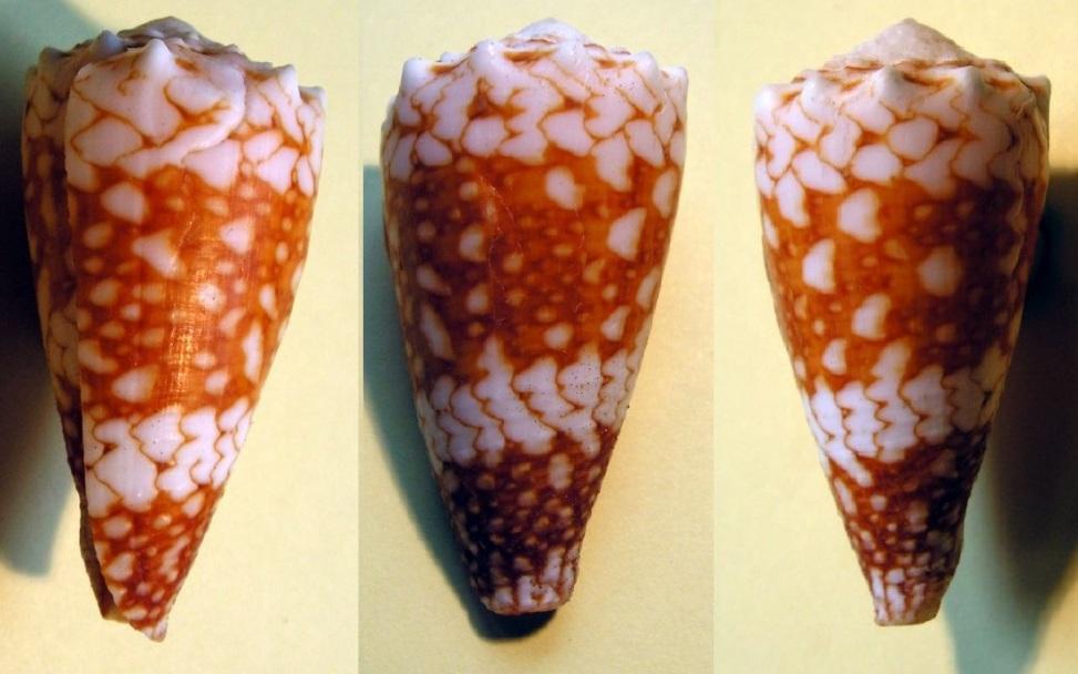 Conus (Conus) vidua cuyoensis f. mozoii (Lorenz & Barbier, 2012)  C_vidu11