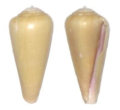 Virgiconus terebra (Born, 1778) Cone_d12