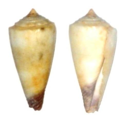 Conus (Lividoconus) muriculatus GB Sowerby I, 1833 Cone_d13
