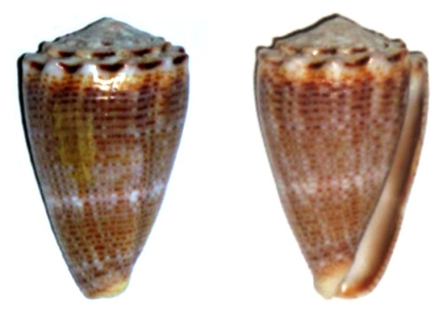 Virroconus encaustus (Kiener, 1845)  Conus_11